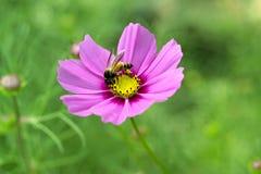 Abeja en la flor del cosmos Imagen de archivo libre de regalías