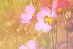 Abeja en la flor del cosmos, fondo ligero floreciente Fotos de archivo libres de regalías