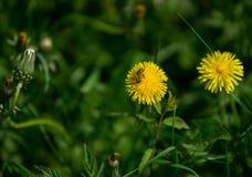 Abeja en la flor del dandellion con el prado verde Imagenes de archivo