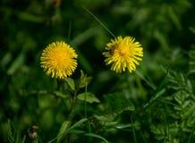 Abeja en la flor del dandellion con el prado verde Fotos de archivo