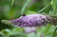 abeja en la flor del davidii de Buddleja Fotos de archivo libres de regalías