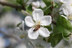 Abeja en la flor del flor de la manzana Foto de archivo