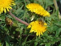 Abeja en la flor del diente de león Foto de archivo libre de regalías