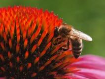 Abeja en la flor del echinacea Fotos de archivo libres de regalías