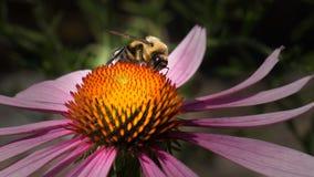 Abeja en la flor del echinacea Foto de archivo libre de regalías