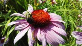 Abeja en la flor del Echinacea en luz del sol brillante en Jersey City, NJ Fotografía de archivo