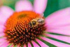 Abeja en la flor del echinacea en verano Fotografía de archivo
