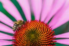 Abeja en la flor del echinacea en verano Fotos de archivo libres de regalías