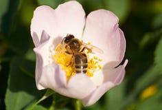 Abeja en la flor del escaramujo Fotografía de archivo