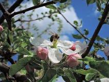 Abeja en la flor del flor Foto de archivo libre de regalías