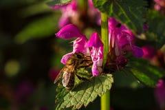 Abeja en la flor del flor de la primavera Foto de archivo