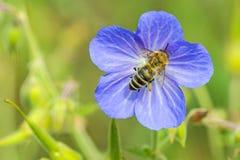 Abeja en la flor del geranio Imagen de archivo