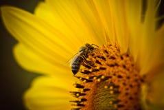 Abeja en la flor del girasol que recolecta las semillas y el néctar del polen Imagen de archivo libre de regalías