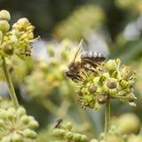 Abeja en la flor del hedera Fotos de archivo libres de regalías