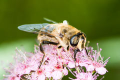Abeja en la flor del japonica del spiraea Foto de archivo
