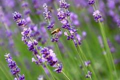 Abeja en la flor del levander Foto de archivo libre de regalías