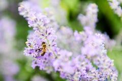Abeja en la flor del levander Fotos de archivo