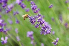 Abeja en la flor del levander Fotografía de archivo libre de regalías