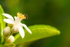 Abeja en la flor del limón Foto de archivo
