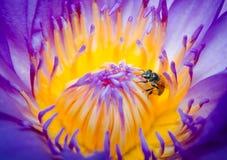 Abeja en la flor del lirio de agua Imágenes de archivo libres de regalías
