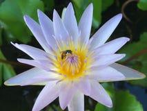 Abeja en la flor del lirio de agua Fotografía de archivo libre de regalías