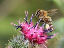 Abeja en la flor del mayor burdock Fotos de archivo libres de regalías
