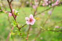 Abeja en la flor del melocotón apicultura Imagen de archivo