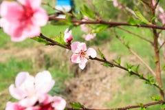 Abeja en la flor del melocotón apicultura Foto de archivo libre de regalías
