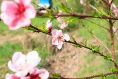 Abeja en la flor del melocotón apicultura Imagen de archivo libre de regalías