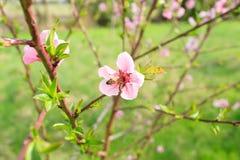 Abeja en la flor del melocotón apicultura Fotos de archivo libres de regalías
