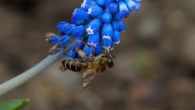 Abeja en la flor del Muscari almacen de metraje de vídeo
