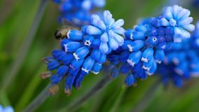 Abeja en la flor del Muscari almacen de video