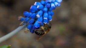 Abeja en la flor del Muscari metrajes