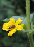 Abeja en la flor del pepino Foto de archivo libre de regalías