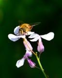 Abeja en la flor del polemonio Foto de archivo