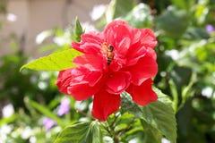 Abeja en la flor del rojo del hibisco Foto de archivo libre de regalías