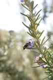 Abeja en la flor del romero Fotografía de archivo libre de regalías