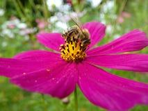 Abeja en la flor del rosa del cosmos del jardín Fotografía de archivo libre de regalías