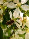 Abeja en la flor del `s de la manzana Imagen de archivo libre de regalías
