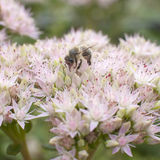 Abeja en la flor del sedum Foto de archivo