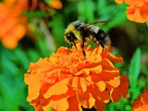 Abeja en la flor del tagete Imagenes de archivo