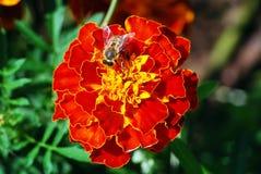 Abeja en la flor del tagete Foto de archivo