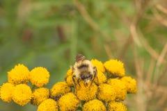 Abeja en la flor del Tansy Fotografía de archivo libre de regalías