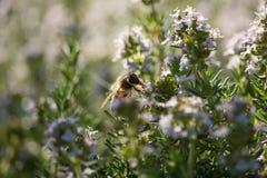 Abeja en la flor del timo Foto de archivo libre de regalías