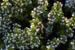 Abeja en la flor del tomillo Imagen de archivo