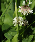 Abeja en la flor del Trifolium. Imagen de archivo libre de regalías