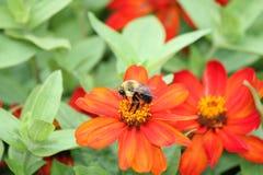 Abeja en la flor del Zinnia Imagenes de archivo