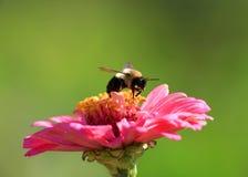 Abeja en la flor del Zinnia Fotografía de archivo