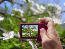 Abeja en la flor en el visor de la rama de árbol in camera Imágenes de archivo libres de regalías