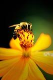 Abeja en la flor en estilo de la pintura del agua Imagen de archivo